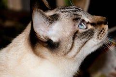 Gato tailandês do cabelo curto do close up Foto de Stock Royalty Free