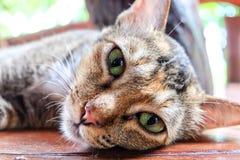 Gato tailandês no assoalho e no fundo de madeira do borrão Fotografia de Stock Royalty Free
