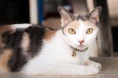 Gato tailandês que descansa na cadeira de mármore que olha a câmera imagem de stock royalty free