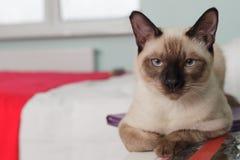 Gato tailandês severo e sério que olha restritamente Imagens de Stock Royalty Free