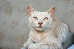 Gato Tawny Foto de Stock