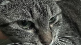 Gato - TIGRE almacen de metraje de vídeo