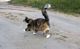 gato Três-colorido fotografia de stock