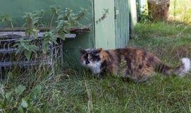 gato Três-colorido imagem de stock