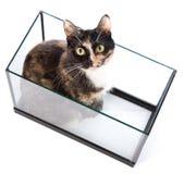 gato Três-colorido Fotos de Stock
