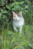 gato Três-colorido imagem de stock royalty free