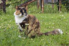 gato Três-colorido fotografia de stock royalty free