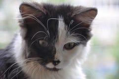 Gato traseiro e branco Fotografia de Stock Royalty Free