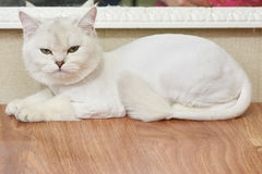 Gato trastornado en la tabla Fotografía de archivo