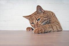 Gato travieso del jengibre que muestra las patas en la tabla de madera fotografía de archivo