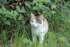 gato Tres-coloreado Fotografía de archivo