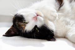Gato tres-coloreado soñoliento con los ojos semicerrados foto de archivo libre de regalías