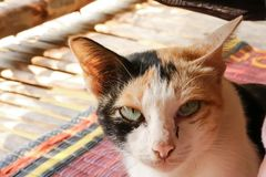 Gato tricolor Fotos de archivo