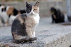 Gato tricolor Fotos de archivo libres de regalías