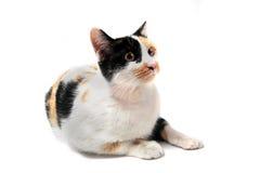 Gato tricolor Fotografía de archivo libre de regalías
