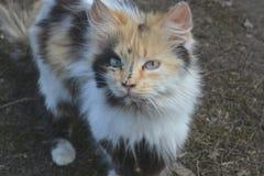 Gato Tricolor Fotografia de Stock Royalty Free