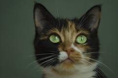 Gato tricolor con los ojos verdes Fotografía de archivo libre de regalías