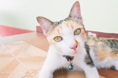Gato tricolor en el piso Foto de archivo