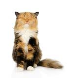 Gato tricolor feliz que se sienta en frente Aislado en el backgroun blanco Imagen de archivo