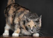 Gato tricolor hermoso Imagen de archivo libre de regalías