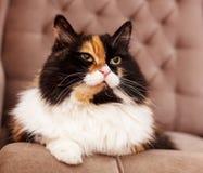 Gato tricolor hermoso Imagen de archivo