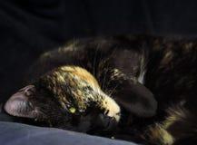 Gato tricolor hermoso Imágenes de archivo libres de regalías