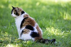 Gato Tricolor que senta-se em um gramado verde Fotos de Stock Royalty Free