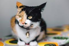 Gato tricolor todo en la atención Foto de archivo
