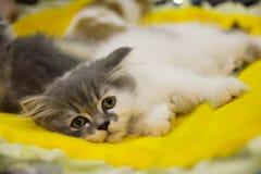 Gato triste criado en línea pura Imágenes de archivo libres de regalías
