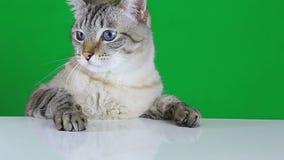 Gato triste que se sienta en la tabla y la vacilación almacen de metraje de vídeo