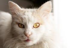Gato turco do angora imagens de stock
