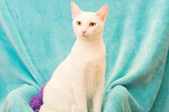 Gato turco do angora foto de stock