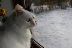 Gato - turco Van da raça, angora Fotos de Stock