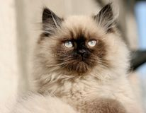 Gato valiente Foto de archivo libre de regalías