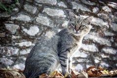 Gato velho do cinza do gato malhado Imagens de Stock Royalty Free