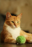 Gato vermelho fotografia de stock royalty free