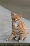 Gato vermelho Foto de Stock Royalty Free