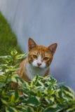 Gato vermelho Imagem de Stock