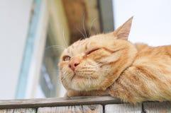 Gato vermelho Fotografia de Stock