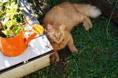 Gato vermelho Imagem de Stock Royalty Free