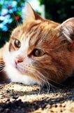 Gato vermelho fotos de stock