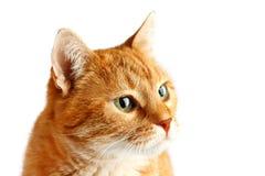 Gato vermelho adulto isolado no fundo branco, focinho do ` s do gato Fotografia de Stock