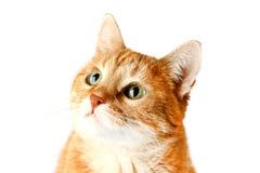 Gato vermelho adulto isolado no fundo branco, focinho do ` s do gato Fotografia de Stock Royalty Free