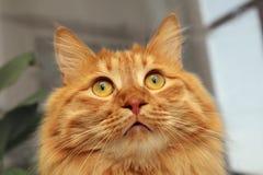 Gato vermelho Bobtail que olha acima Fotos de Stock Royalty Free