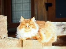 Gato vermelho bonito com os olhos verdes que sentam-se no telhado no sol Fotografia de Stock
