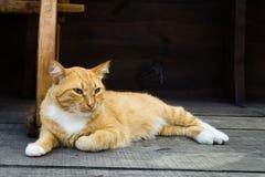 Gato vermelho bonito grande com olhos azuis dos azuis celestes Imagens de Stock Royalty Free