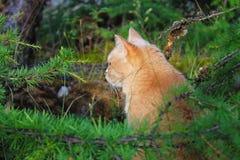 Gato vermelho bonito nas madeiras Foto de Stock