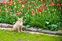 Gato vermelho bonito no fundo das tulipas A opinião bonita tulipas vermelhas, amarelas sob a luz solar ajardina no meio da mola o Foto de Stock Royalty Free