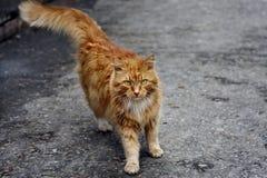 Gato vermelho brilhante Fotografia de Stock Royalty Free