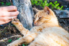 Gato vermelho brincalhão Imagem de Stock Royalty Free